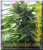 Super CBD X Sweet Tooth SCBDX Female 10 Seeds